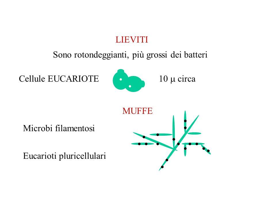 LIEVITI Sono rotondeggianti, più grossi dei batteri. Cellule EUCARIOTE. 10  circa. MUFFE. Microbi filamentosi.