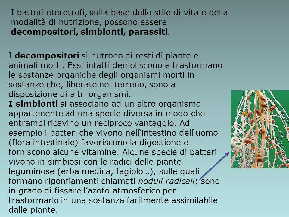I batteri eterotrofi, sulla base dello stile di vita e della modalità di nutrizione, possono essere decompositori, simbionti, parassiti.