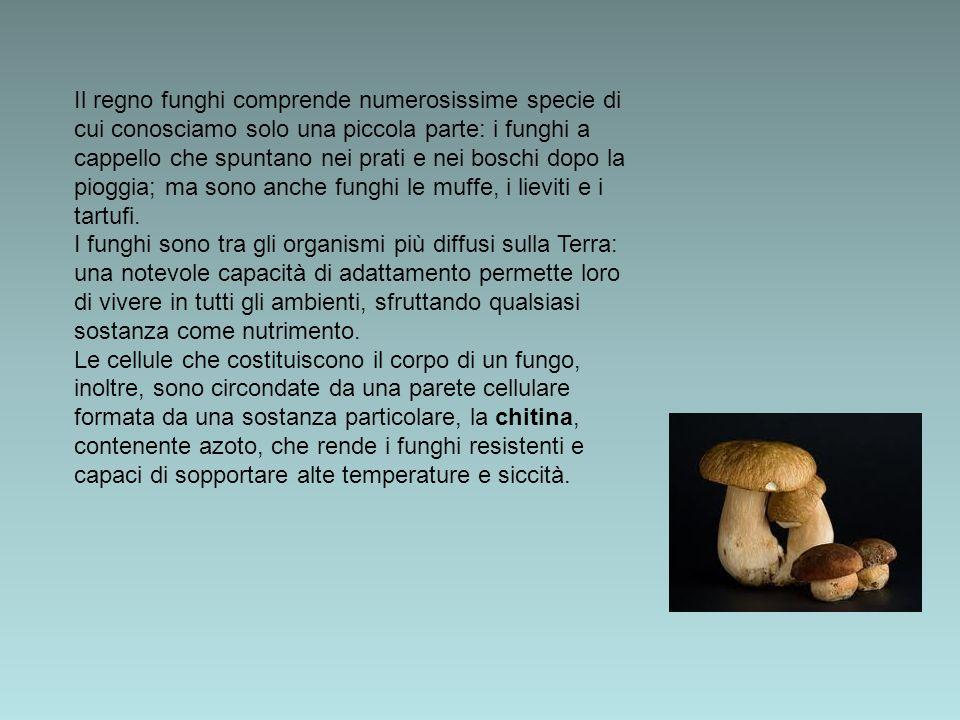 Il regno funghi comprende numerosissime specie di cui conosciamo solo una piccola parte: i funghi a cappello che spuntano nei prati e nei boschi dopo la pioggia; ma sono anche funghi le muffe, i lieviti e i tartufi.
