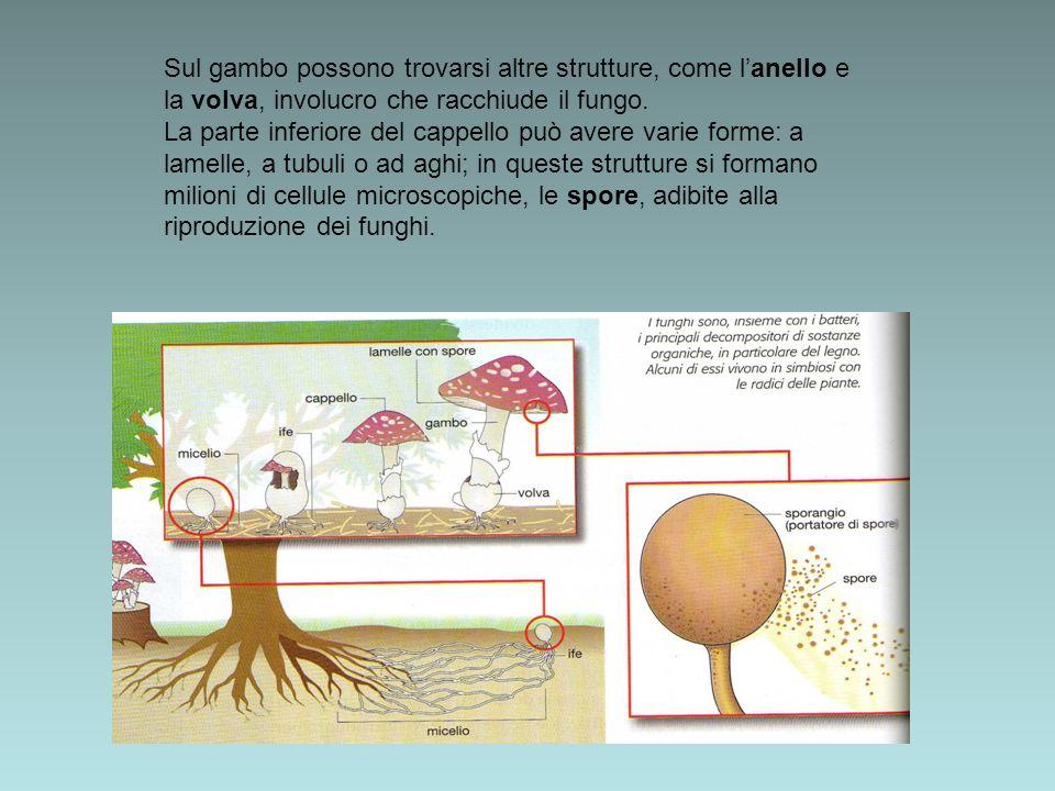 Sul gambo possono trovarsi altre strutture, come l'anello e la volva, involucro che racchiude il fungo.
