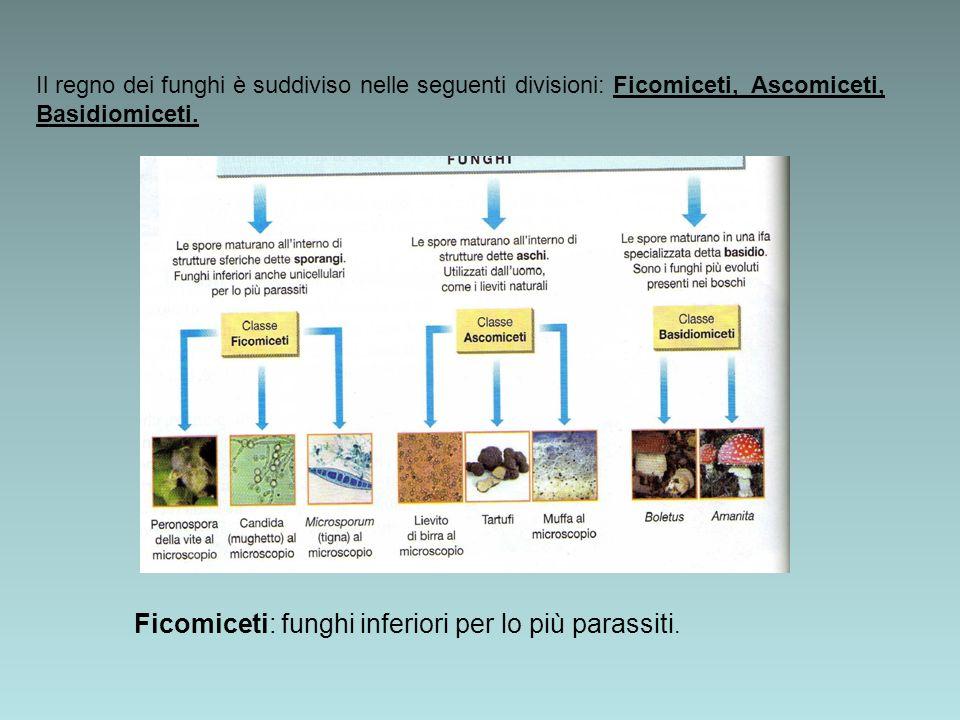 Ficomiceti: funghi inferiori per lo più parassiti.