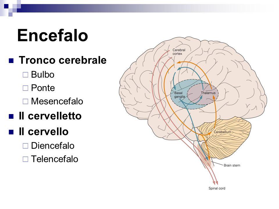 Encefalo Tronco cerebrale Il cervelletto Il cervello Bulbo Ponte
