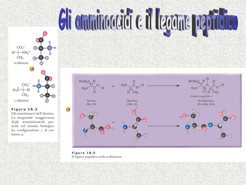 Gli amminoacidi e il legame peptidico