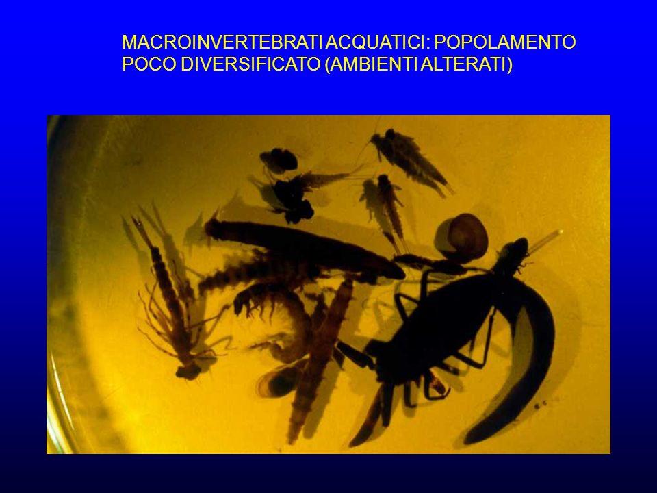 MACROINVERTEBRATI ACQUATICI: POPOLAMENTO POCO DIVERSIFICATO (AMBIENTI ALTERATI)