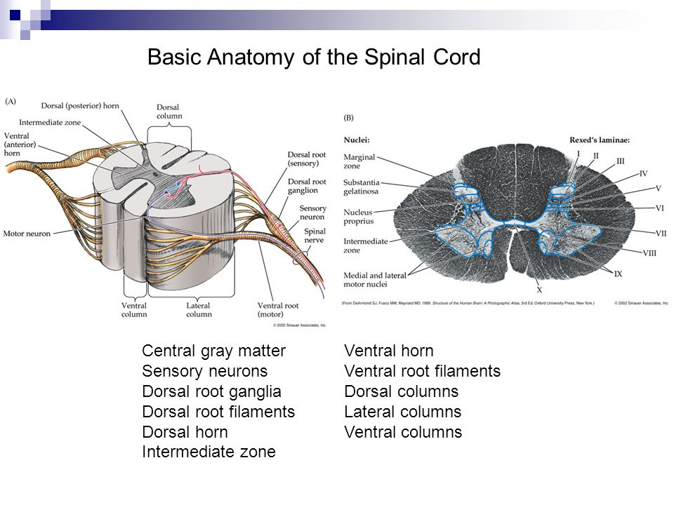 Basic Anatomy of the Spinal Cord