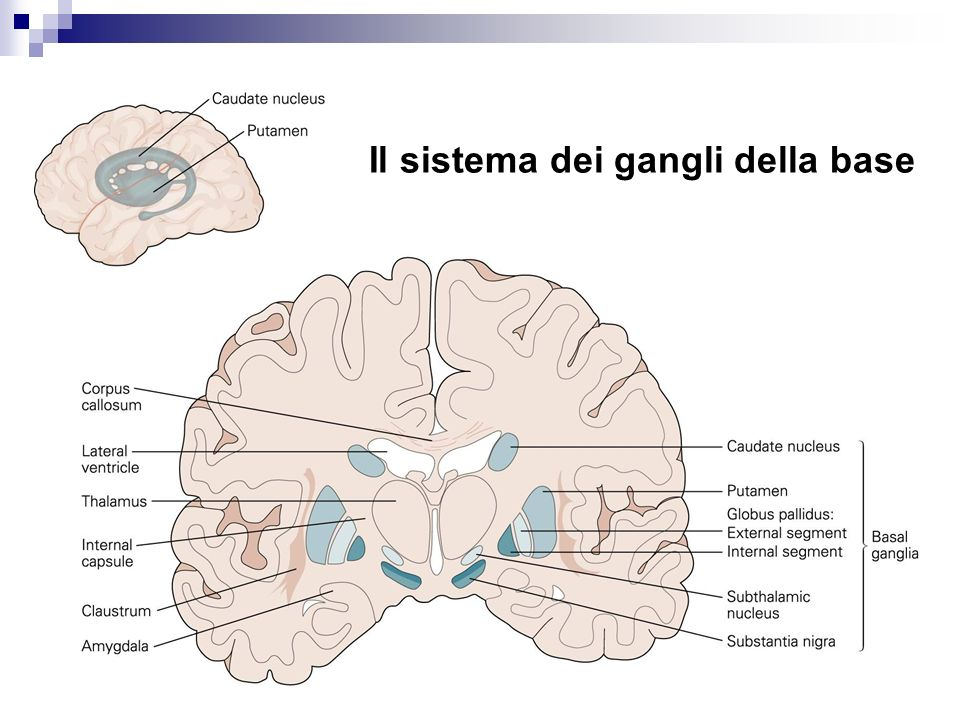 Neuroanatomia ppt video online scaricare for Pianificatore di base online
