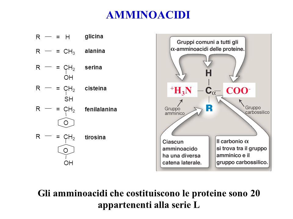 AMMINOACIDI R. = H. glicina. COO- +H3N. = CH3. alanina. = CH2. OH. serina. SH. = CH2.