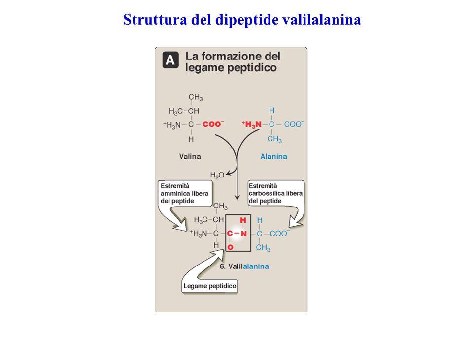 Struttura del dipeptide valilalanina