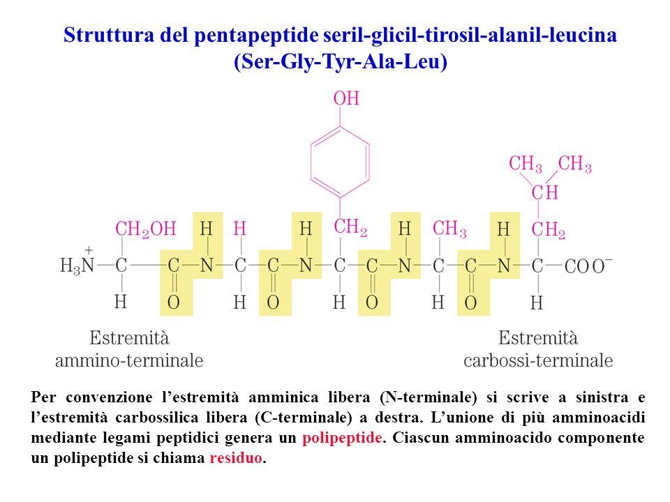 Struttura del pentapeptide seril-glicil-tirosil-alanil-leucina