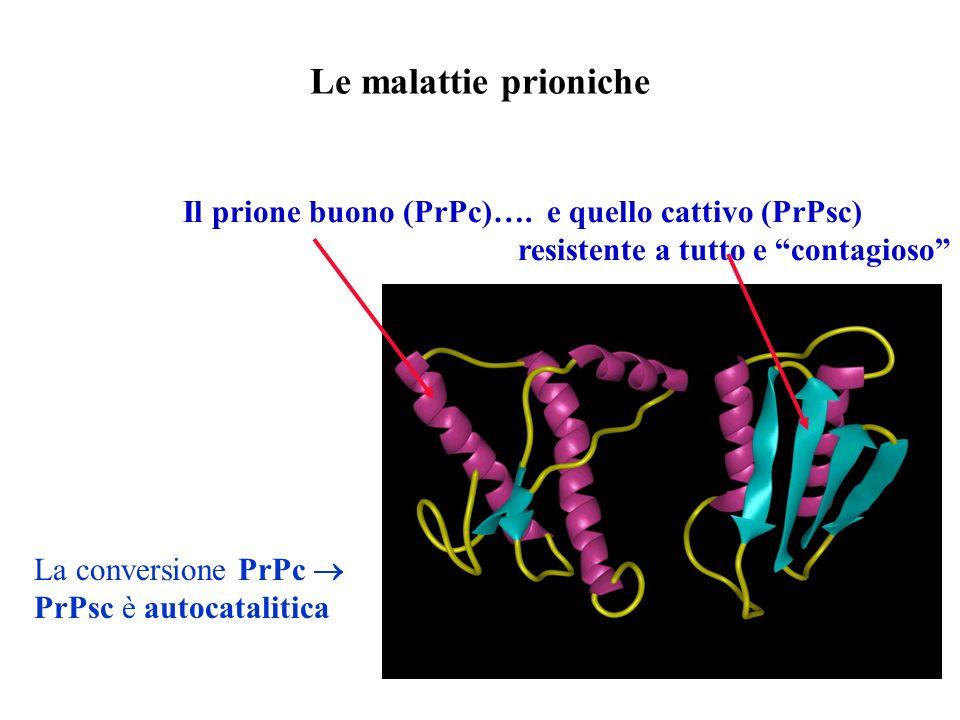 Le malattie prioniche Il prione buono (PrPc)…. e quello cattivo (PrPsc) resistente a tutto e contagioso