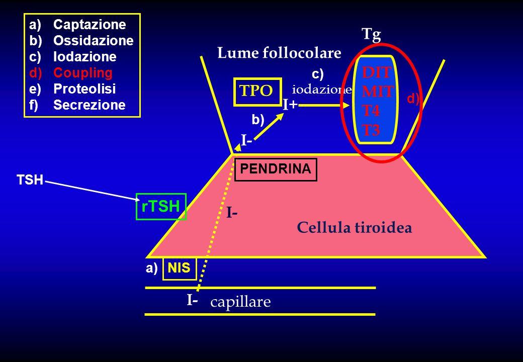 Tg Lume follocolare DIT MIT T4 T3 TPO I+ I- rTSH I- Cellula tiroidea