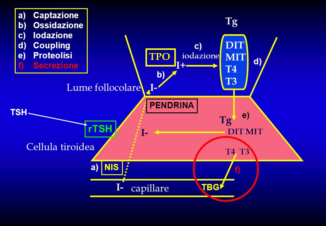 Tg DIT MIT T4 T3 TPO I+ Lume follocolare I- Tg rTSH I-