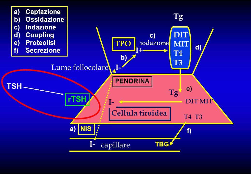 Tg DIT MIT T4 T3 TPO I+ Lume follocolare I- TSH Tg rTSH I-