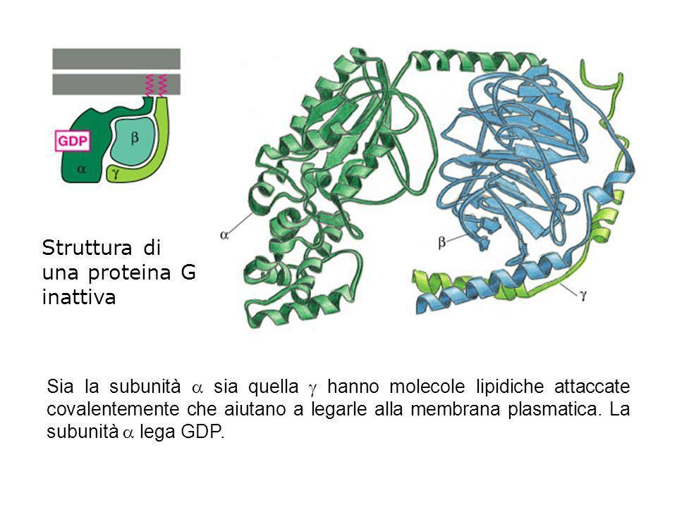 Struttura di una proteina G inattiva