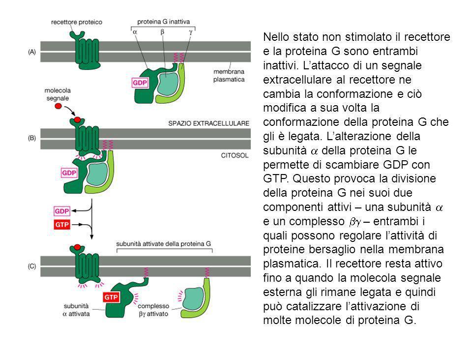Nello stato non stimolato il recettore e la proteina G sono entrambi inattivi.