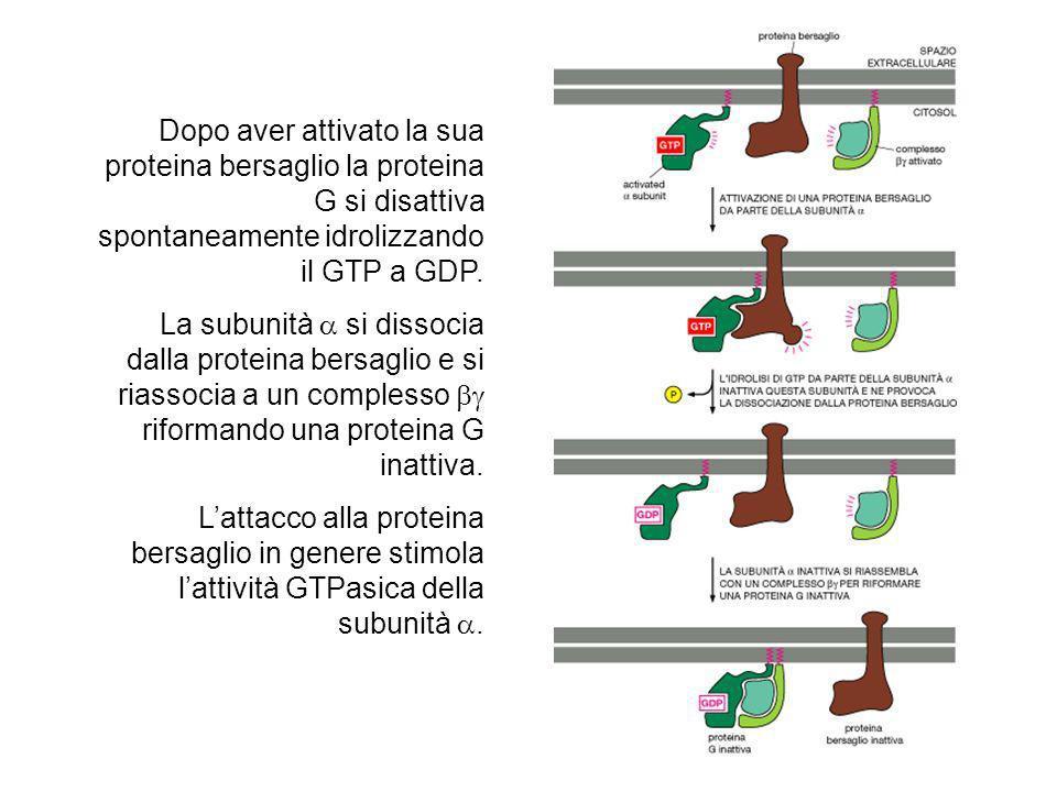 Dopo aver attivato la sua proteina bersaglio la proteina G si disattiva spontaneamente idrolizzando il GTP a GDP.