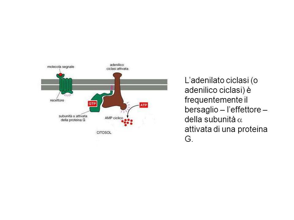 L'adenilato ciclasi (o adenilico ciclasi) è frequentemente il bersaglio – l'effettore –della subunità a attivata di una proteina G.