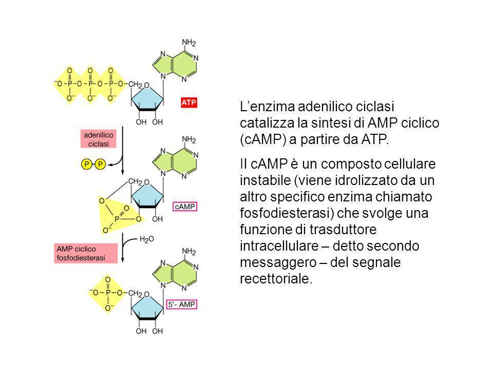 L'enzima adenilico ciclasi catalizza la sintesi di AMP ciclico (cAMP) a partire da ATP.