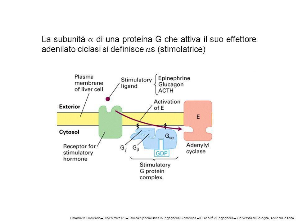 La subunità a di una proteina G che attiva il suo effettore adenilato ciclasi si definisce as (stimolatrice)