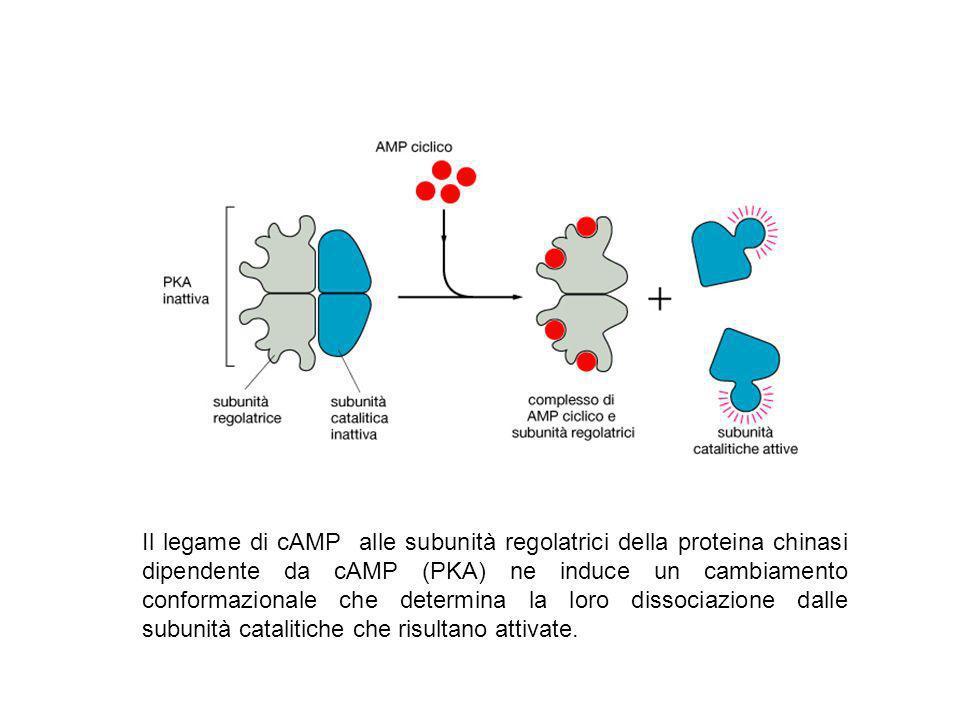 Il legame di cAMP alle subunità regolatrici della proteina chinasi dipendente da cAMP (PKA) ne induce un cambiamento conformazionale che determina la loro dissociazione dalle subunità catalitiche che risultano attivate.