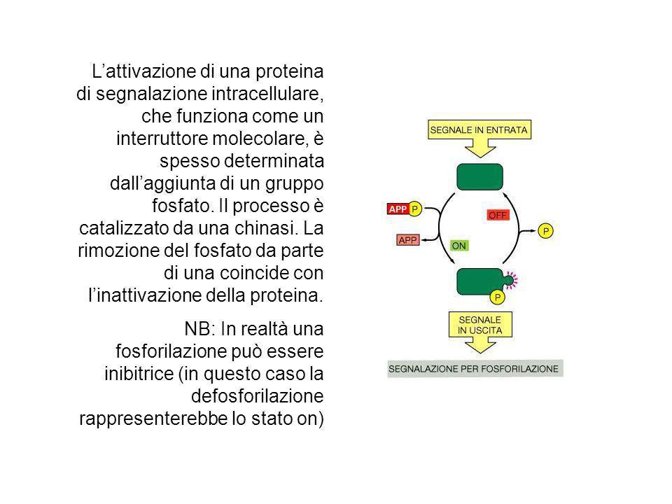 L'attivazione di una proteina di segnalazione intracellulare, che funziona come un interruttore molecolare, è spesso determinata dall'aggiunta di un gruppo fosfato. Il processo è catalizzato da una chinasi. La rimozione del fosfato da parte di una coincide con l'inattivazione della proteina.