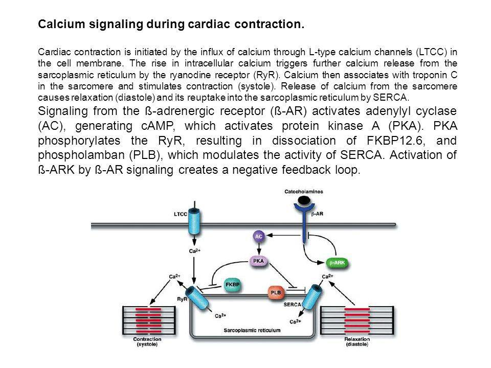 Calcium signaling during cardiac contraction.