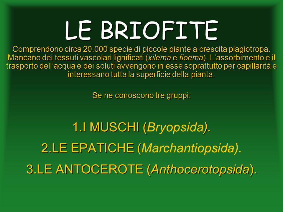 LE BRIOFITE I MUSCHI (Bryopsida). LE EPATICHE (Marchantiopsida).