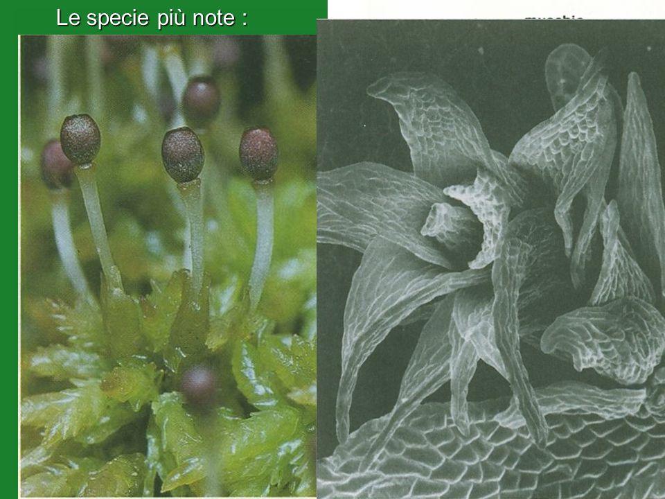 (Sphagnum cymbifolium)