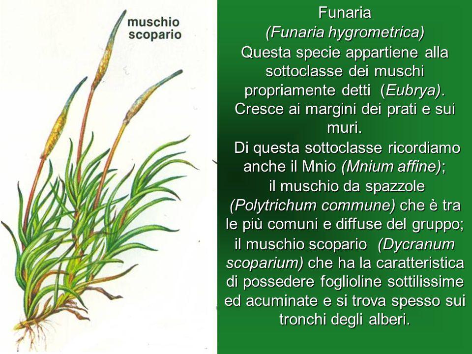 (Funaria hygrometrica)
