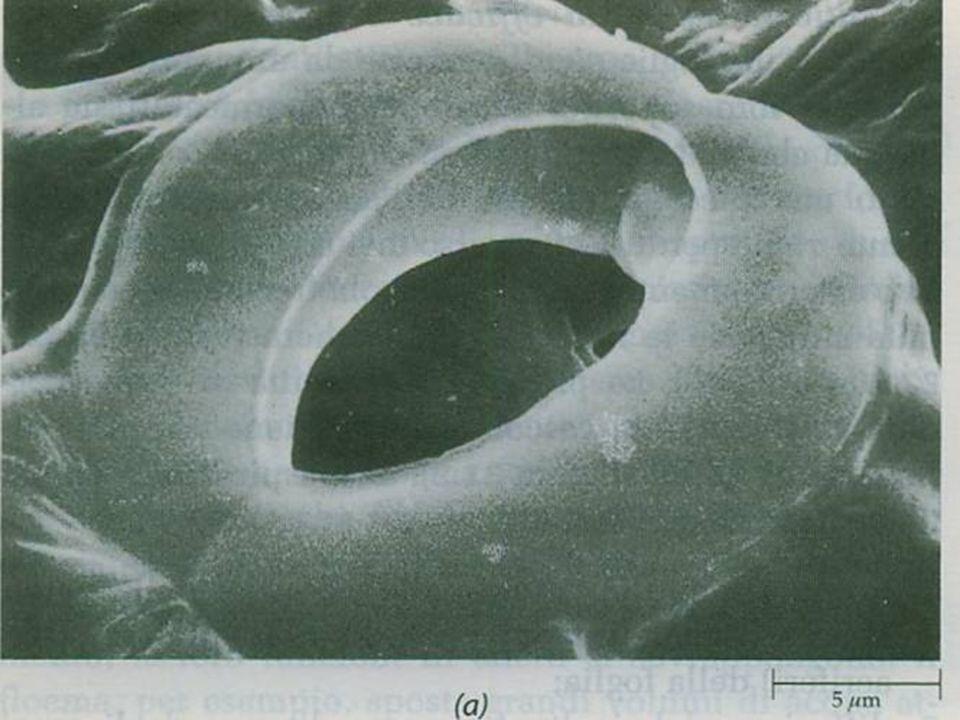 Naturalmente questi tessuti non dovevano impedire gli scambi gassosi con l'esterno necessari al metabolismo della pianta.