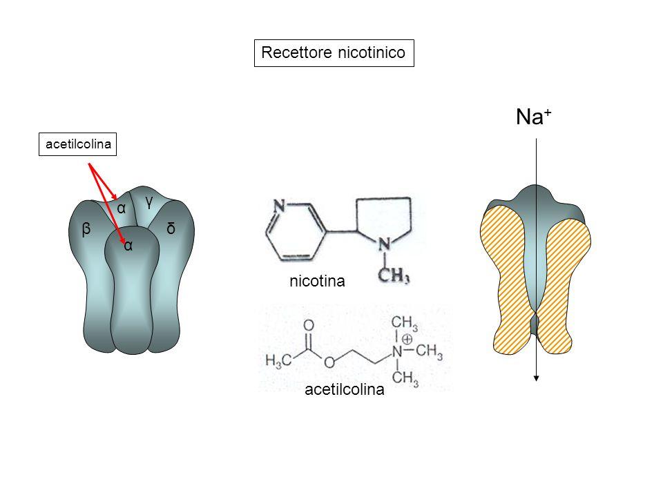 Recettore nicotinico α β γ δ acetilcolina nicotina Na+