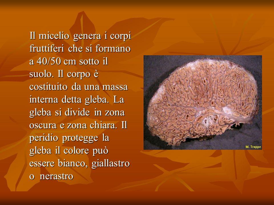 Il micelio genera i corpi fruttiferi che si formano a 40/50 cm sotto il suolo.