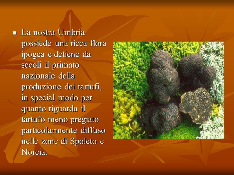 La nostra Umbria possiede una ricca flora ipogea e detiene da secoli il primato nazionale della produzione dei tartufi, in special modo per quanto riguarda il tartufo meno pregiato particolarmente diffuso nelle zone di Spoleto e Norcia.