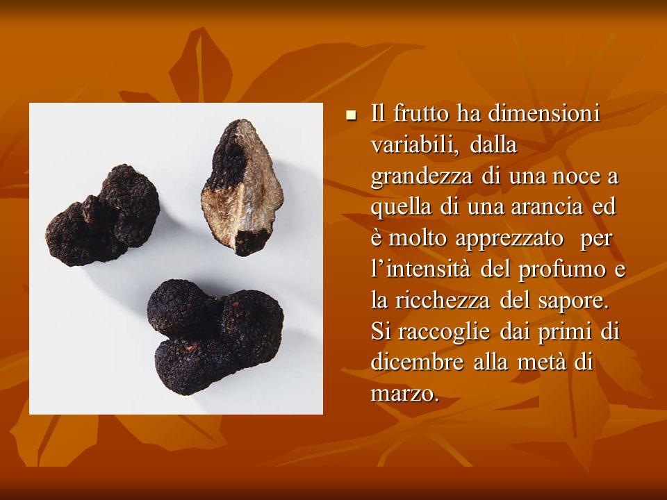 Il frutto ha dimensioni variabili, dalla grandezza di una noce a quella di una arancia ed è molto apprezzato per l'intensità del profumo e la ricchezza del sapore.