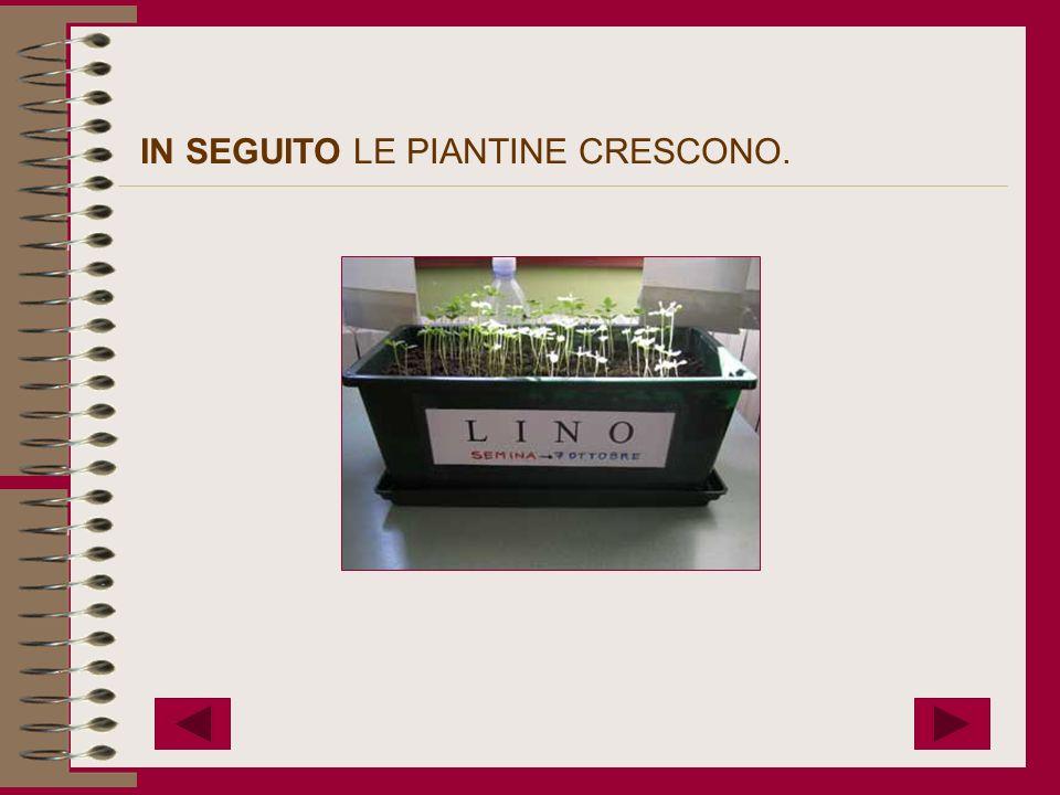 IN SEGUITO LE PIANTINE CRESCONO.