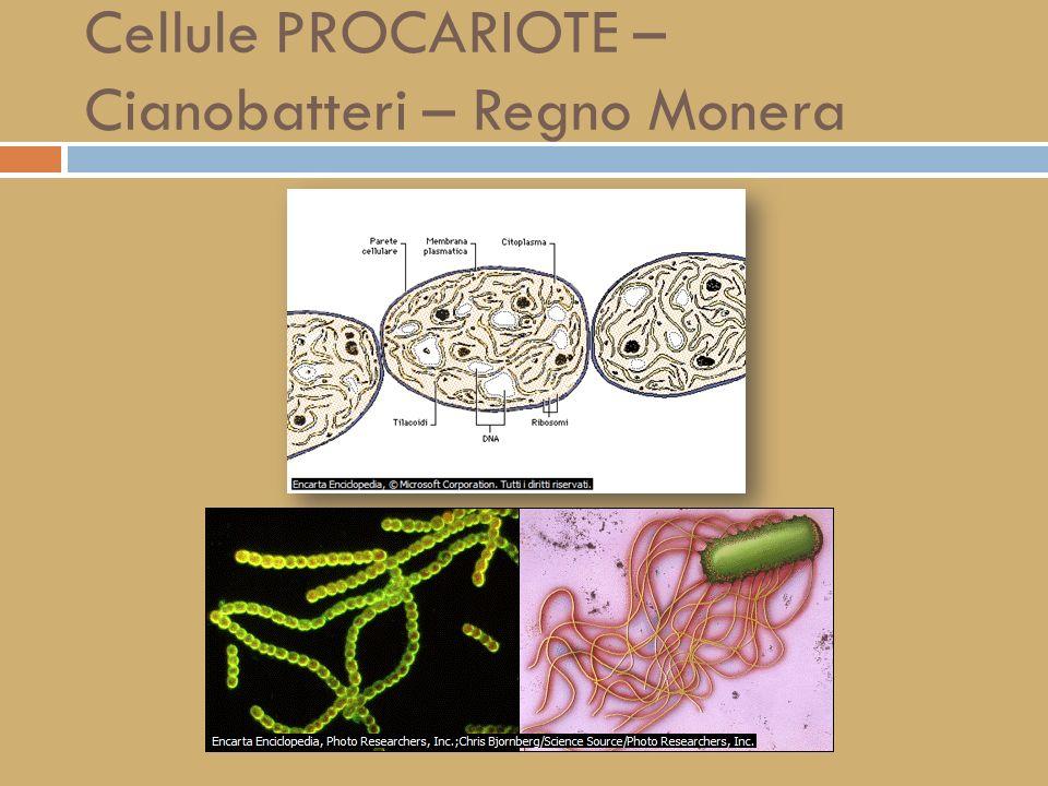 Cellule PROCARIOTE – Cianobatteri – Regno Monera