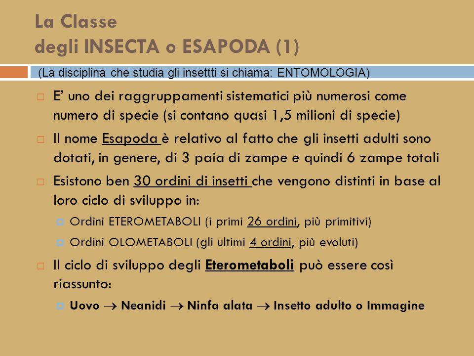 La Classe degli INSECTA o ESAPODA (1)