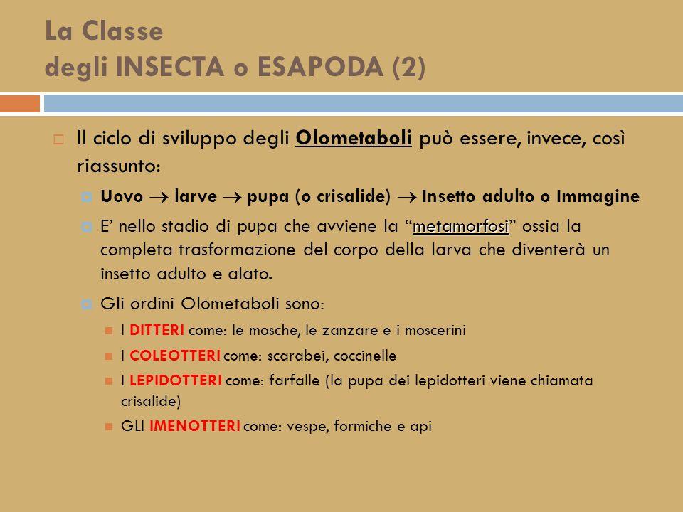 La Classe degli INSECTA o ESAPODA (2)