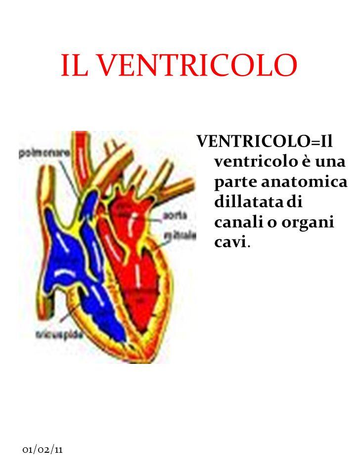 IL VENTRICOLO VENTRICOLO=Il ventricolo è una parte anatomica dillatata di canali o organi cavi.