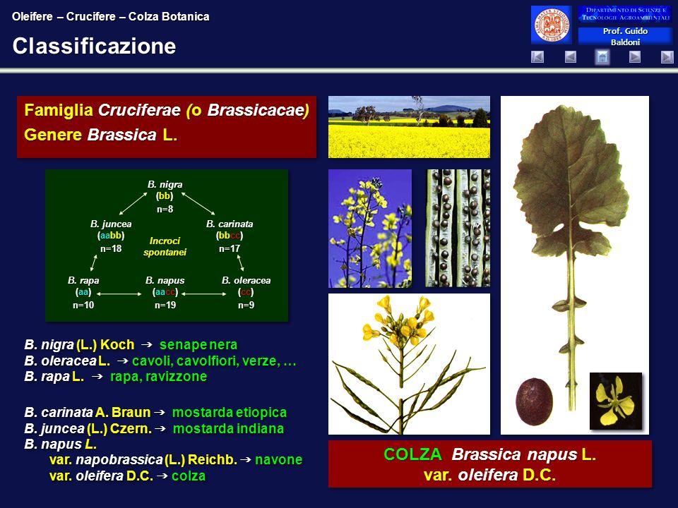 Classificazione Famiglia Cruciferae (o Brassicacae) Genere Brassica L.