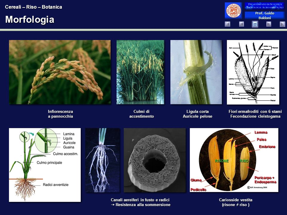 Morfologia Cereali – Riso – Botanica Infiorescenza a pannocchia