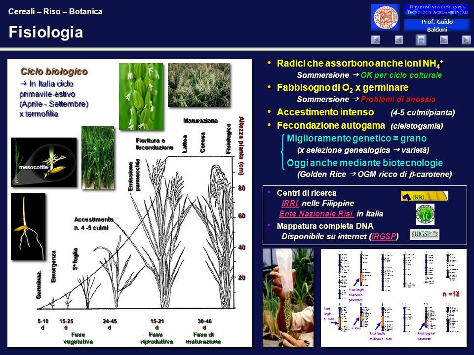 Cereali – Riso – Botanica