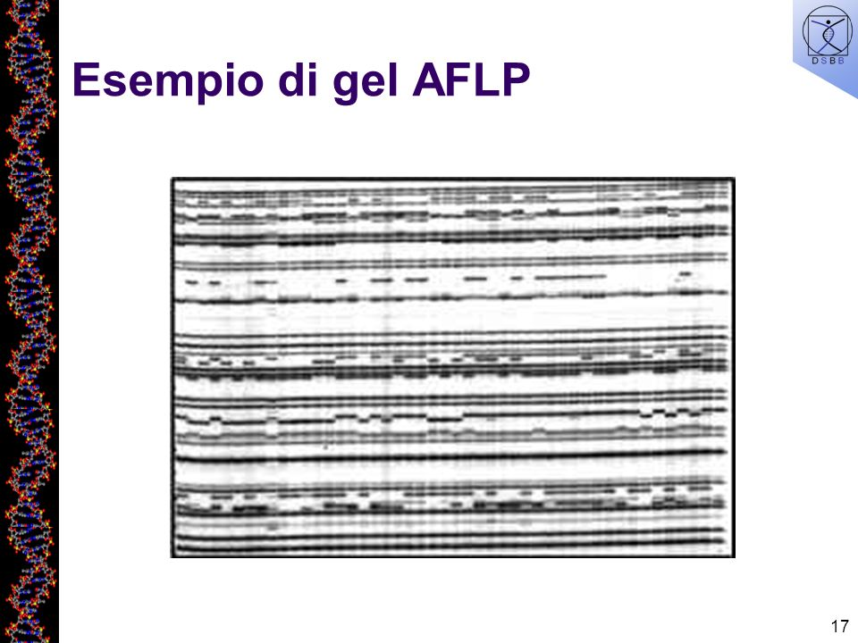 Esempio di gel AFLP