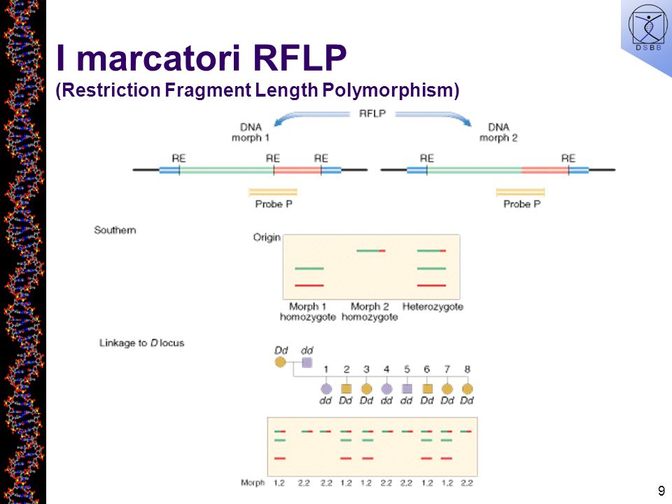 I marcatori RFLP (Restriction Fragment Length Polymorphism)