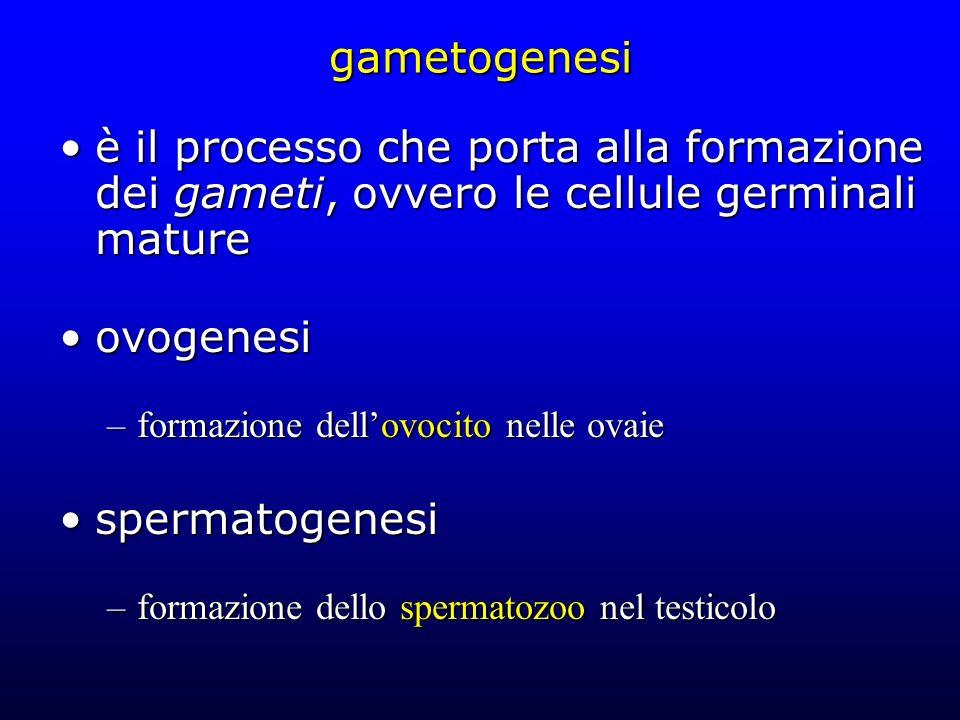 gametogenesi è il processo che porta alla formazione dei gameti, ovvero le cellule germinali mature.