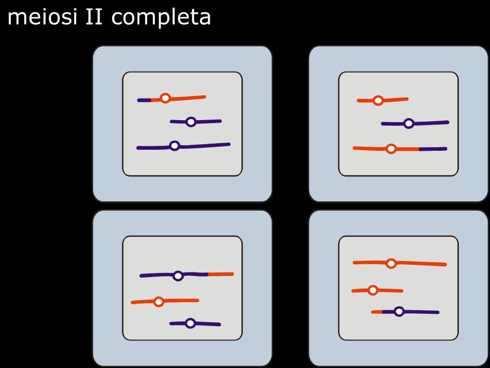 meiosi II completa