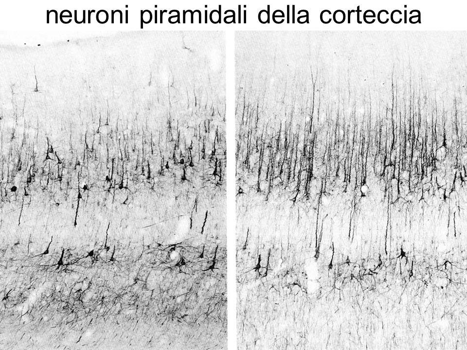 neuroni piramidali della corteccia
