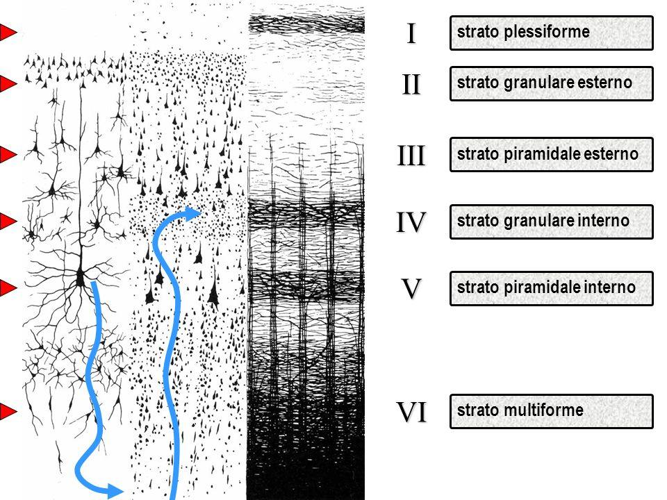 I II III IV V VI strato plessiforme strato granulare esterno