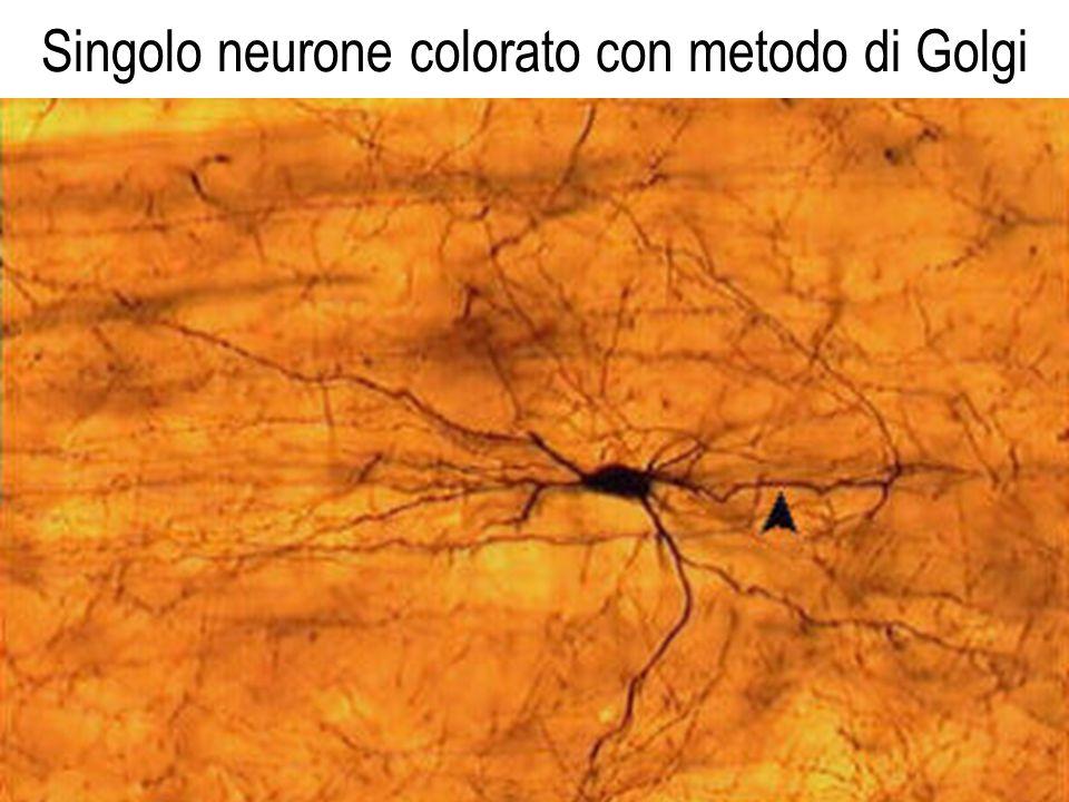 Singolo neurone colorato con metodo di Golgi