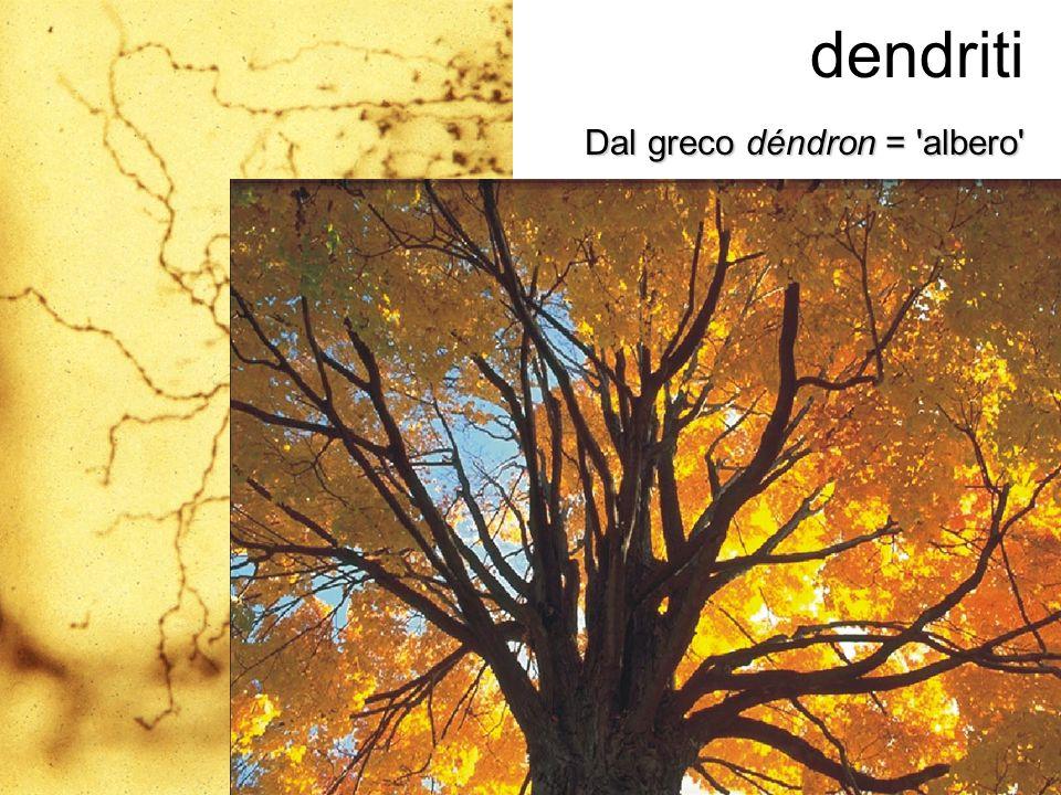dendriti Dal greco déndron = albero